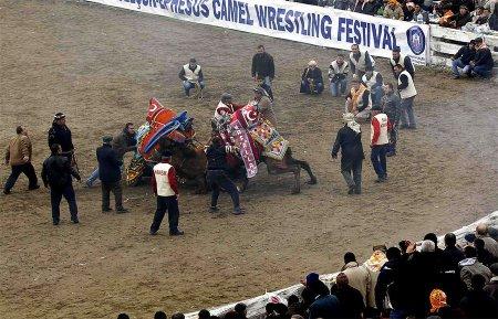Фестиваль верблюжьих боев в Турции