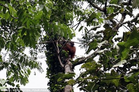 Чудесное спасение орангутангов за минуту до их убийства