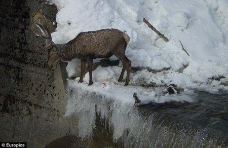 В Альпах спасатели вытащили из мерзлой воды оленя