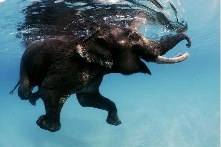 Последний плавающий слон Андаманских островов