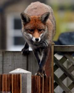 В Лондоне лисы бродят по заборам