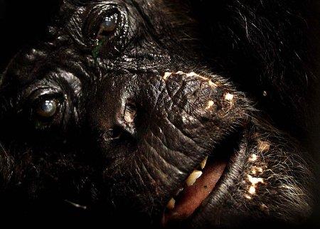 73-летней самке шимпанзе провели операцию