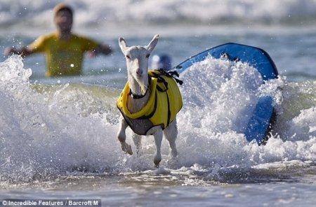Козлик - серфер