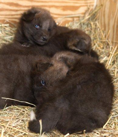 В Смитсоновском институте родились четыре гривистых волчонка