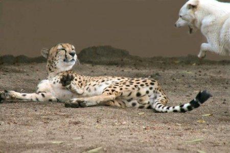 Пес и гепард - лучшие друзья