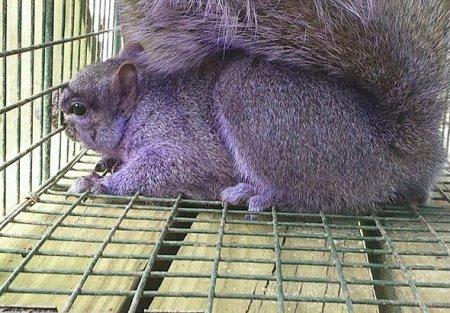 В Пенсильвании поймали фиолетовую белку