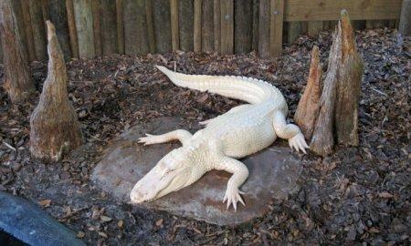 На американской ферме живет крокодил-альбинос