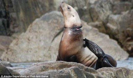 Тюлени и морские львы страдают от пластикового мусора