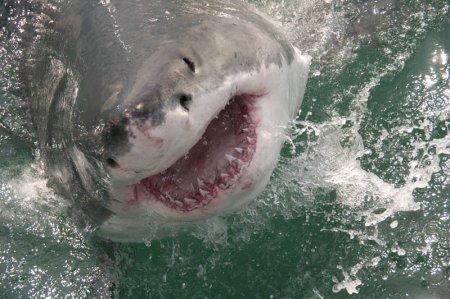 Повелительница морей – большая белая акула