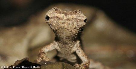 Самый маленький хамелеон в мире