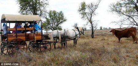 Техасский лонгхорн обладает самыми длинными рогами в мире