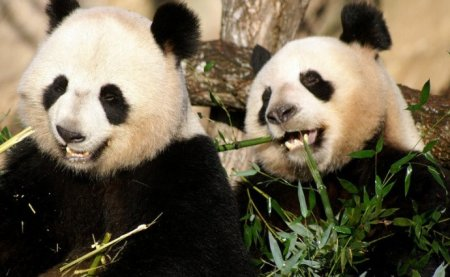 Публичный дебют больших панд во французском зоопарке