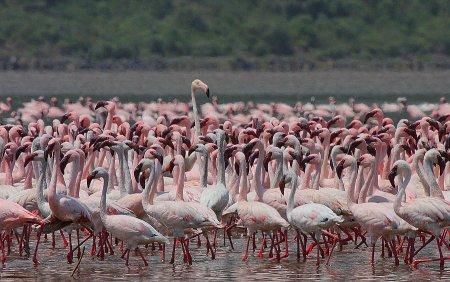 Миллионы розовых фламинго