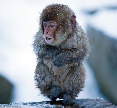Японские обезьянки греются в горячих источниках