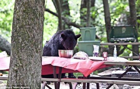 Голодный медведь пришел полакомиться на пикник