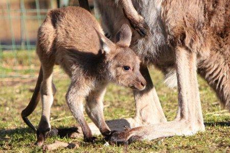 Взрослый кенгуренок продолжает прятаться в мамину сумку