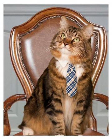 Кот Хэнк баллотируется в Сенат США