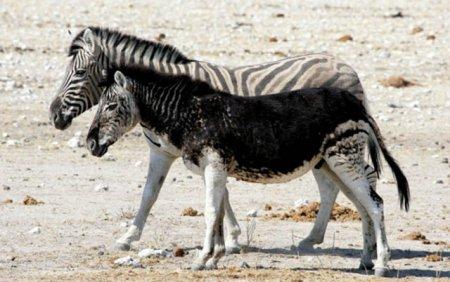 Животные-меланисты
