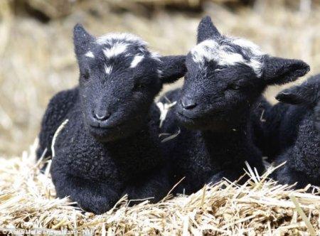 Овца из Великобритании родил сразу пятерых ягнят!
