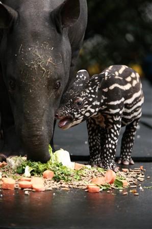 Детеныш малайского тапира в зоопарке Белфаста