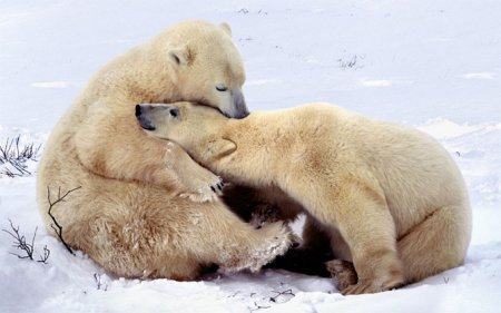Полярные медведи выходят из берлог после спячки