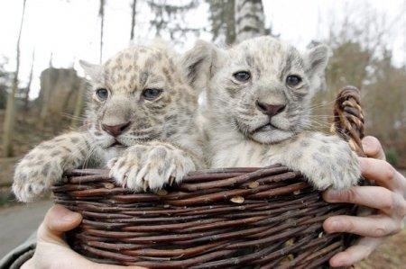В немецком зоопарке публике представили двух белых ягуаров