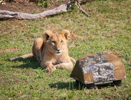 Львы вблизи