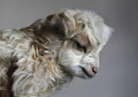 В Индии клонировали гималайскую козу