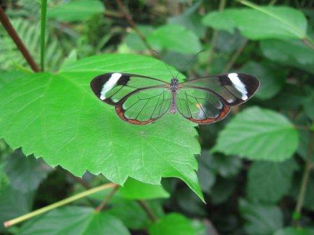 Необычная бабочка со «стеклянными» крыльями
