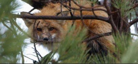 Воронье гнездо стало домом для лисы