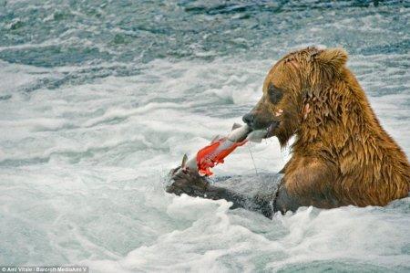Мишки охотятся на лосося