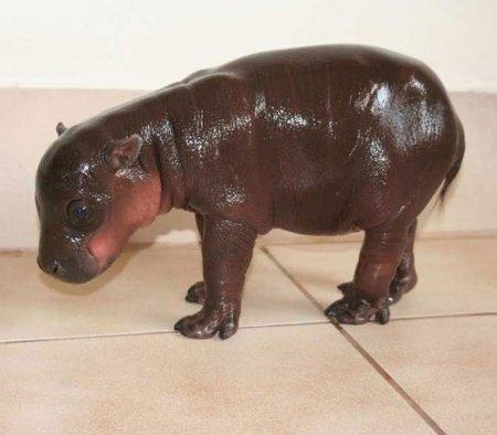 Южноафриканский карликовый бегемотик Гарри
