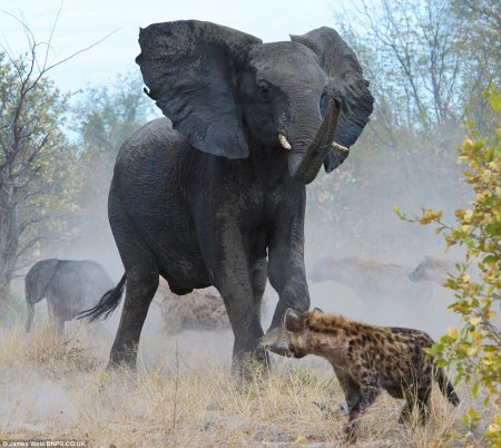 Слониха отбила у гиен своего слоненка