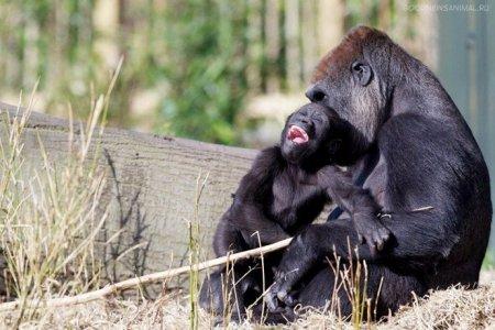 Жадная мамаша-горилла