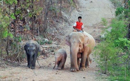 Бирмские розовые слоны