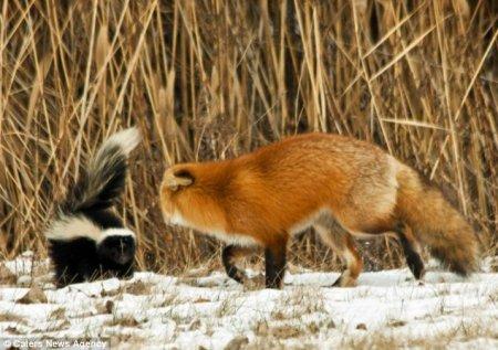 Скунс и лисица