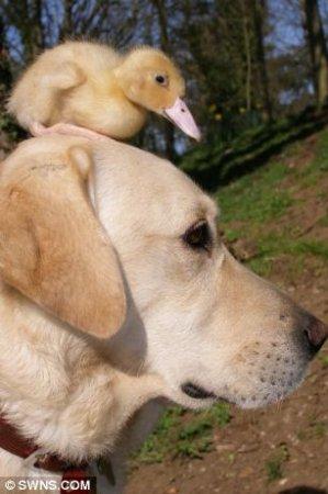 Пес заменил маму осиротевшему утенку