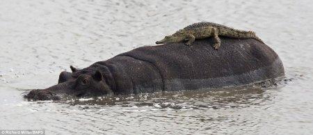 Крокодил прокатился на спине бегемота