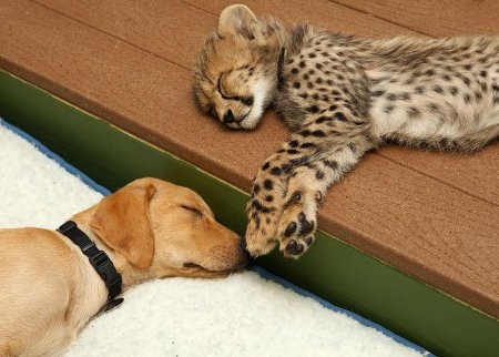 Крепкая дружба гепарда с лабрадором