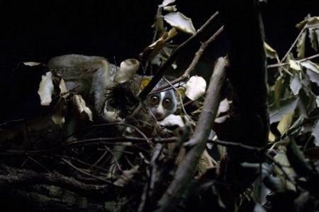 Ночные лемуры в Лондонском зоопарке