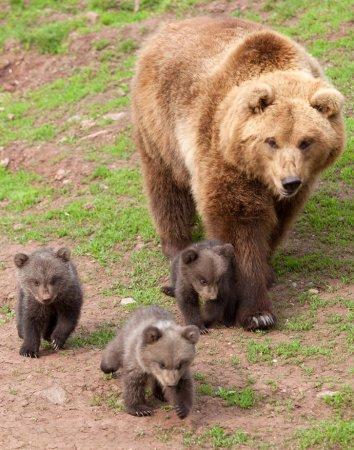 Медвежата-тройняшки на прогулке