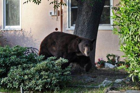 Медведь решил прогуляться по городу