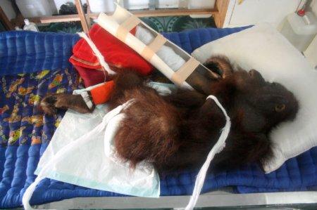 Чтобы выжить, орангутан попытался отгрызть себе руку