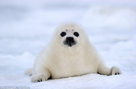 Малыши гренадского тюленя на льду
