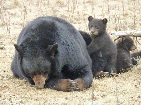 Медвежата-четверняшки