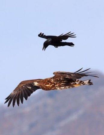 Наглая ворона