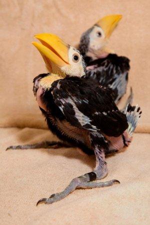Птенцы тукана