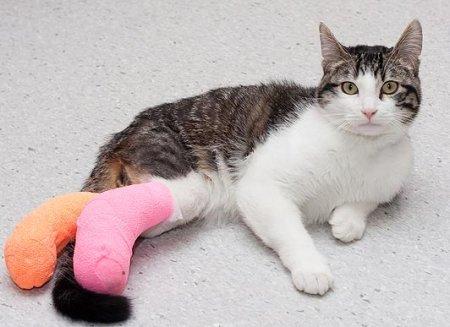 Кот с редчайшей аномалией перенес операцию
