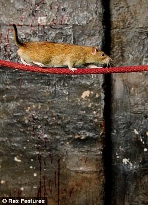 Самая талантливая крыса