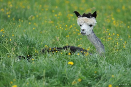 Ежегодная стрижка альпак
